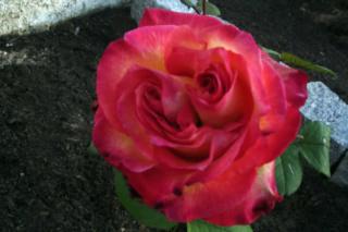 Los rosales de Gom - Página 3 316rj210