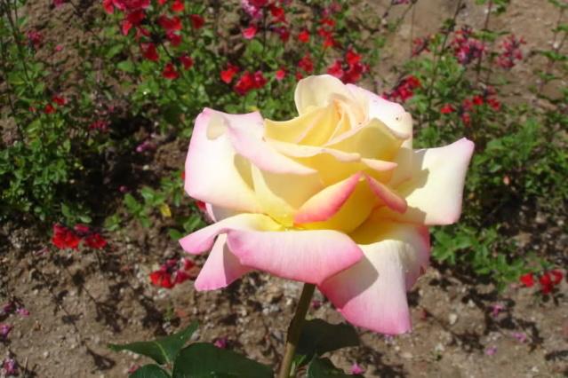 Los rosales de Gom 339j1a10
