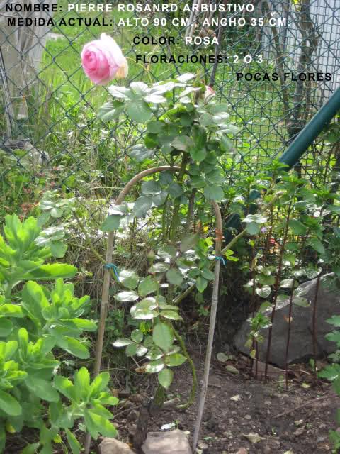 Un sueño.........Mil rosas en mi Jardin 344ceb10