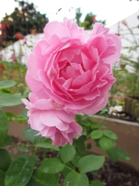 Los rosales de Gom - Página 6 34g7k710