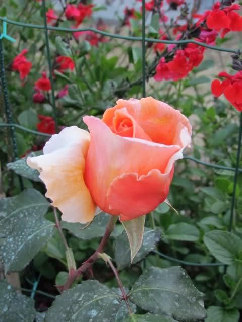 Los rosales de Gom - Página 7 350ngh10