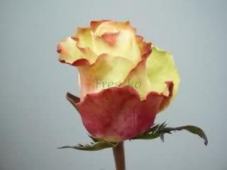 Un sueño.........Mil rosas en mi Jardin - Página 9 5dqicn10
