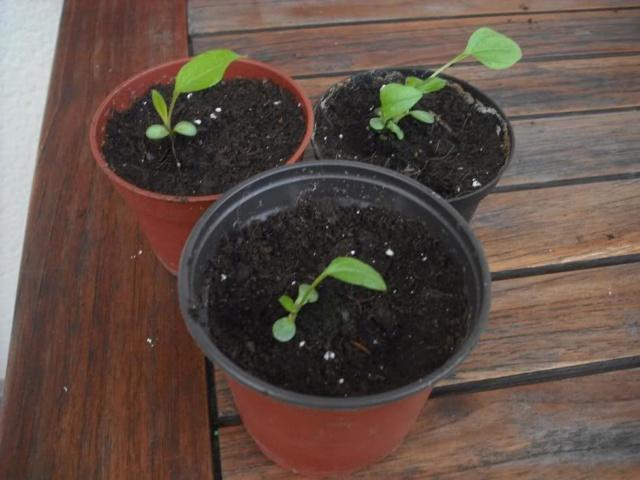 De semillas a futuras plantas - Página 5 5v4xkz10