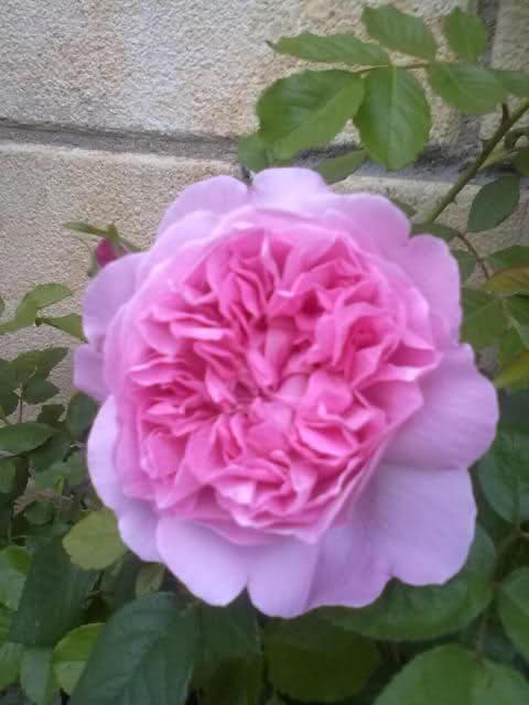 Los rosales de Gom - Página 8 6s6r5x10