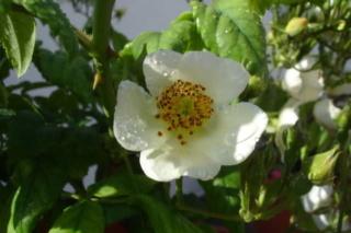 Los rosales de Gom - Página 3 98y3wi10