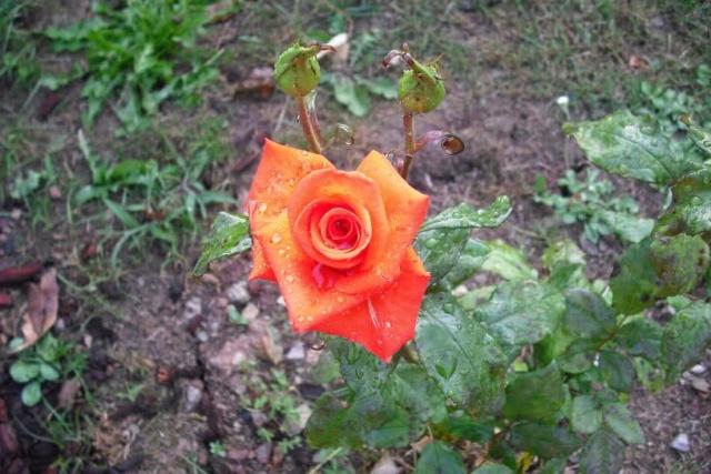 Los Rosales de Epi - Página 3 Ae5shw10