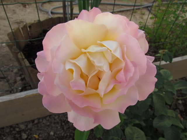 Los rosales de Gom - Página 6 B6syko10