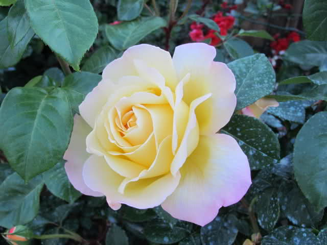 Los rosales de Gom - Página 7 Dlsy0310