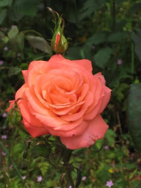 Un sueño.........Mil rosas en mi Jardin - Página 11 Ehbmf10
