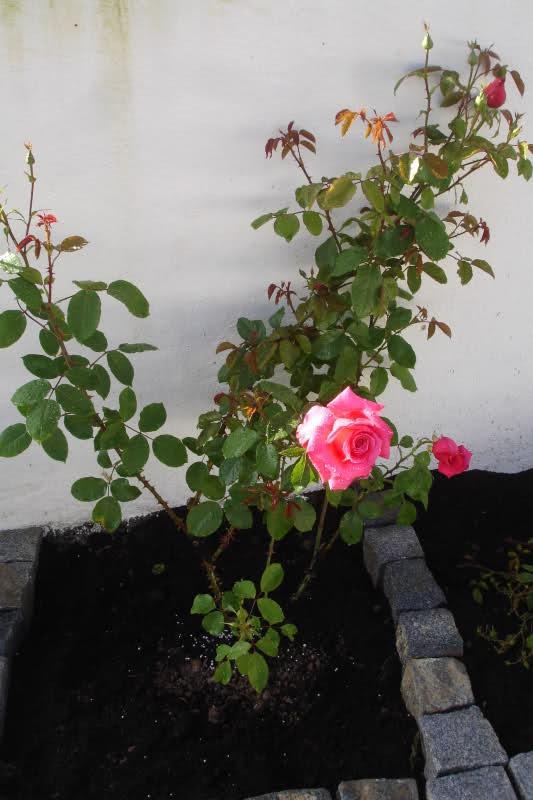 Los rosales de Gom - Página 2 Ipqt6u10
