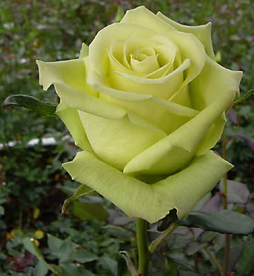Un sueño.........Mil rosas en mi Jardin - Página 9 Jade_310