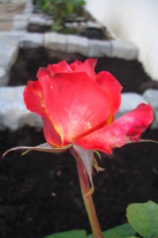 Los rosales de Gom - Página 3 Jv6h4610