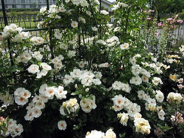 Los rosales de Gom - Página 5 Kar2qb10