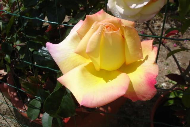 Los rosales de Gom Ke9lqr10