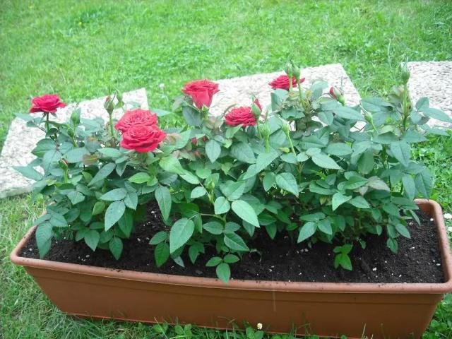 Los Rosales de Epi - Página 3 Mhrn9k10