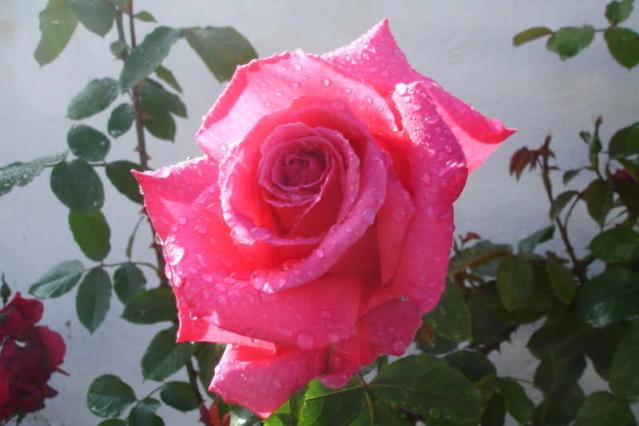 Los rosales de Gom - Página 2 Mt2pfc10
