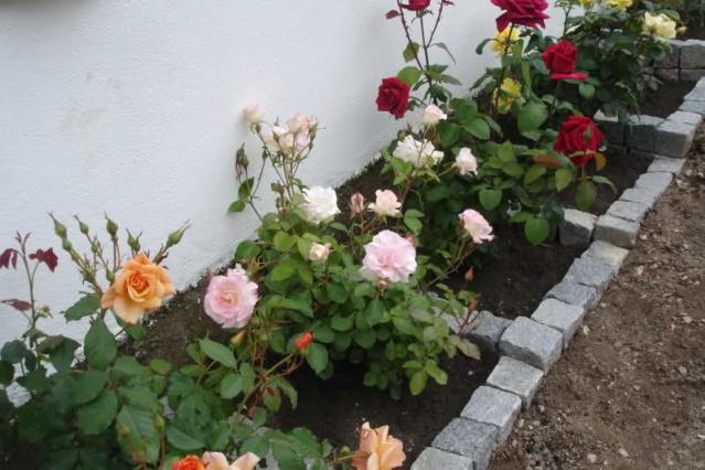 Los rosales de Gom - Página 2 Opd55j10