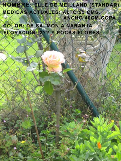 Un sueño.........Mil rosas en mi Jardin Swem8o10