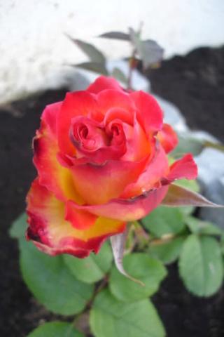 Los rosales de Gom - Página 3 Swfwpk10
