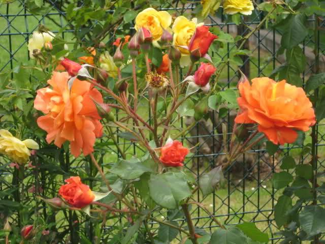 Un sueño.........Mil rosas en mi Jardin - Página 11 Sy1ime10