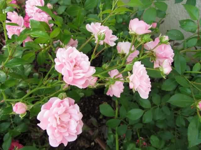 Los rosales de Gom - Página 6 Wvsgms10