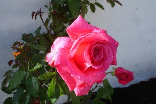 Los rosales de Gom - Página 2 X40ntd10