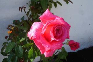 Los rosales de Gom - Página 3 X40ntd11