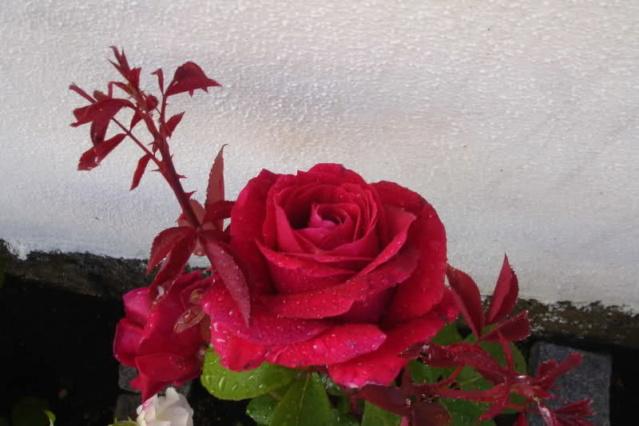 Los rosales de Gom - Página 2 Znpug510