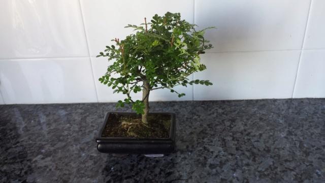 bonsai Ztdr1w10