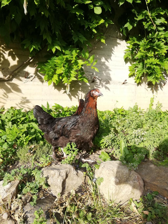 """Avis sur poules de Marans avec queue """"basse""""?  Img_2017"""