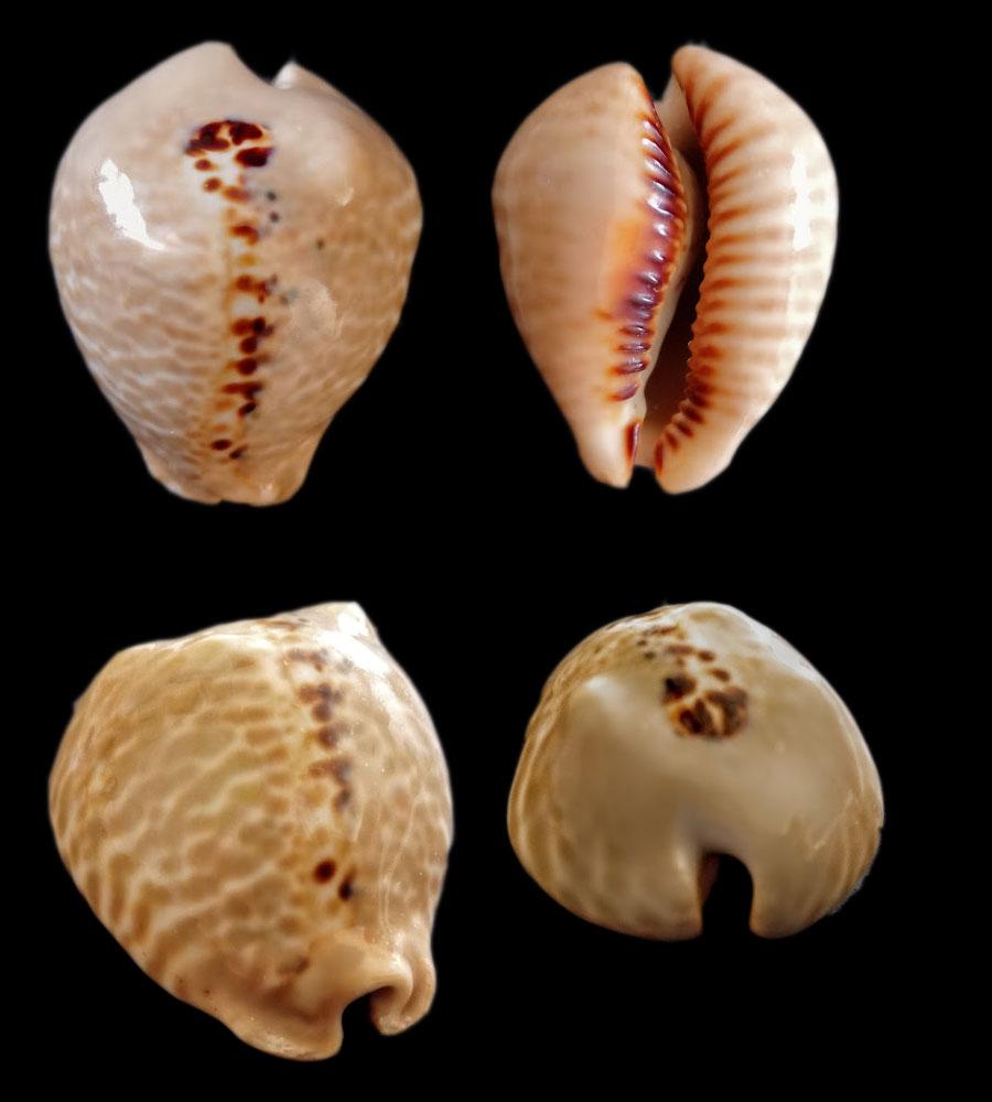 Muracypraea mus bicornis  -  (G. B. Sowerby II, 1870) - Page 2 Bicorn10