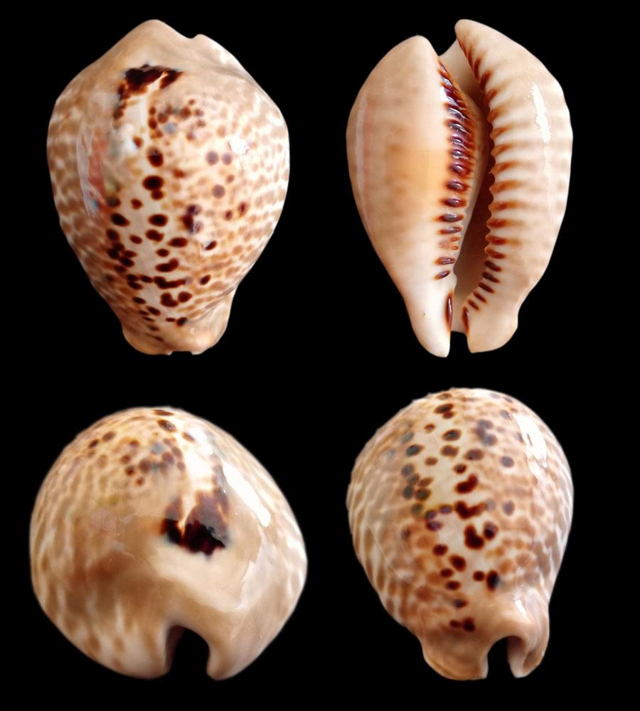 Muracypraea mus donmoorei - Petuch, 1979  Donmoo10