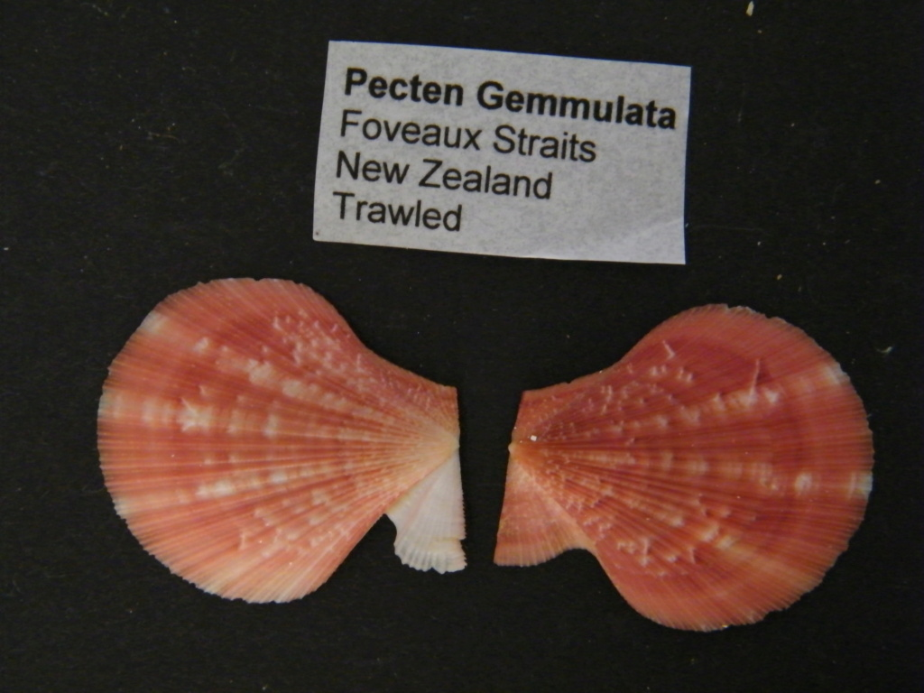 Talochlamys gemmulata - (Reeve, 1853) Dscf3813