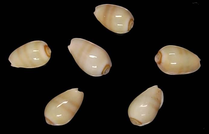 Gibberula secreta - Monterosato, 1889 Gib_se10