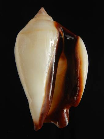 Strombidae Barneystrombus kleckhamae - (Cernohorsky, W.O., 1971) I0002413