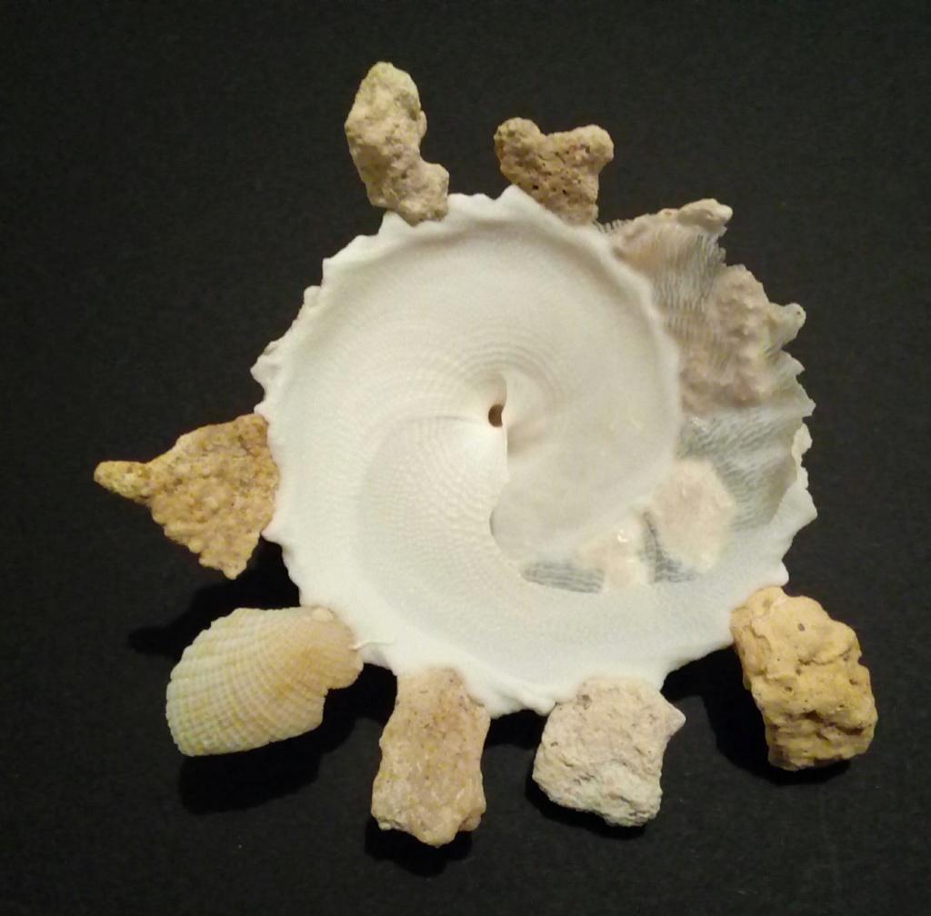 Xenophora granulosa - Ponder, 1983  Img_2029