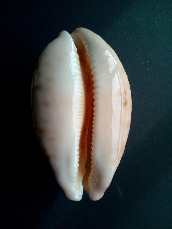 Leporicypraea_mappa_mappa_(Linnaeus_1758)  Img_2065