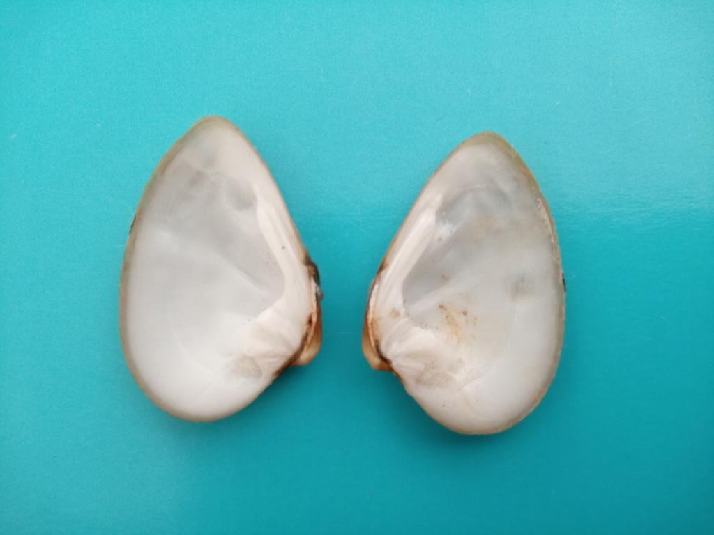Ellipsaria lineolata (Rafinesque, 1820) Img_2143