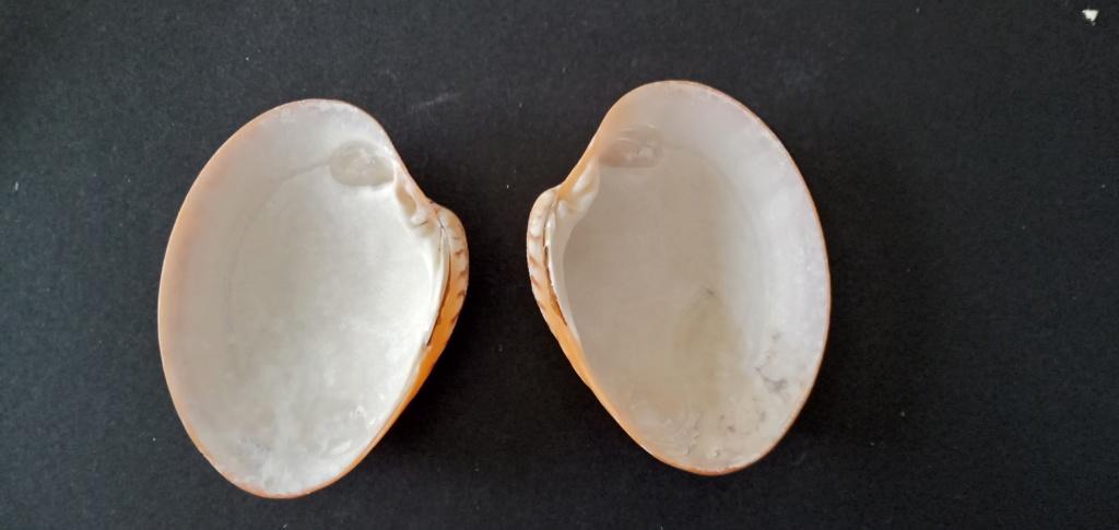 Callista erycina - (Linnaeus, 1758) Img_2174