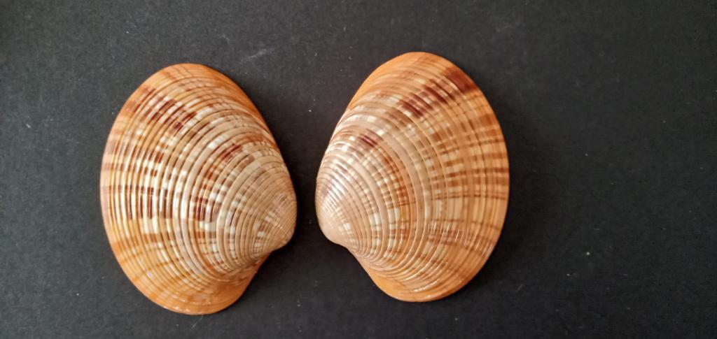 Callista erycina - (Linnaeus, 1758) Img_2175