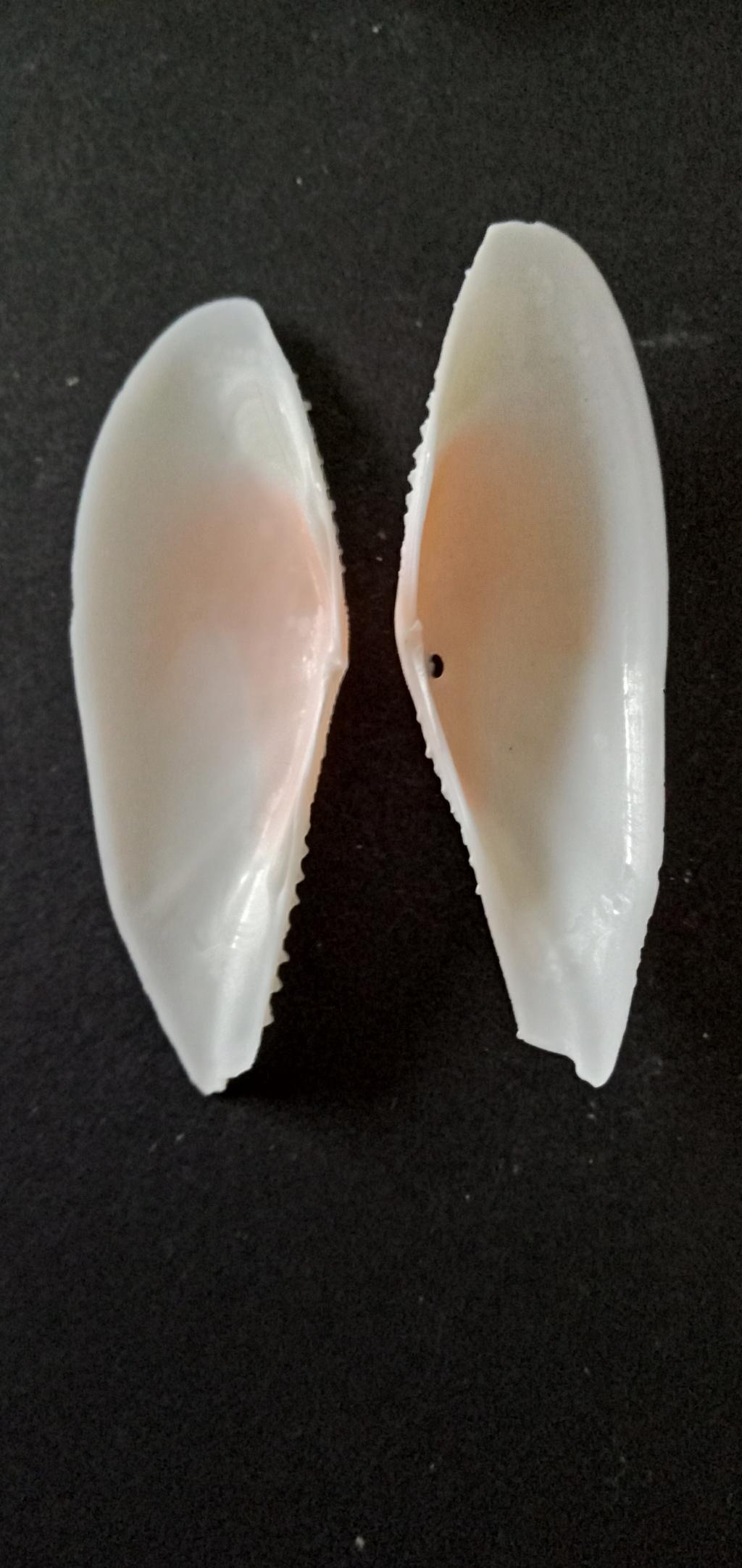 Dallitellina rostrata - (Linnaeus, 1758) Img_2188