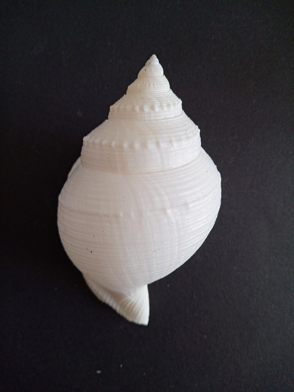 Galeodea alcocki (E. A. Smith, 1906) Img_2243