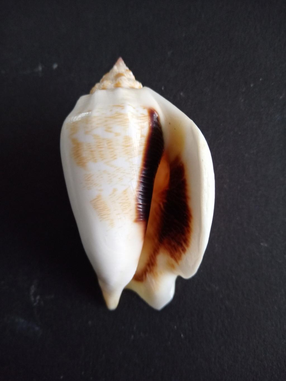 Strombidae Barneystrombus boholensis - (Mühlhäusser, 1981) Img_2300