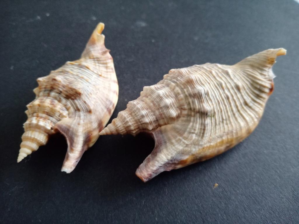 Euprotomus aratrum - (Röding, 1798) Img_2305