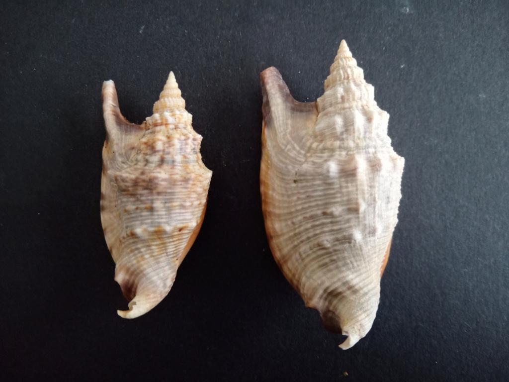Euprotomus aratrum - (Röding, 1798) Img_2306