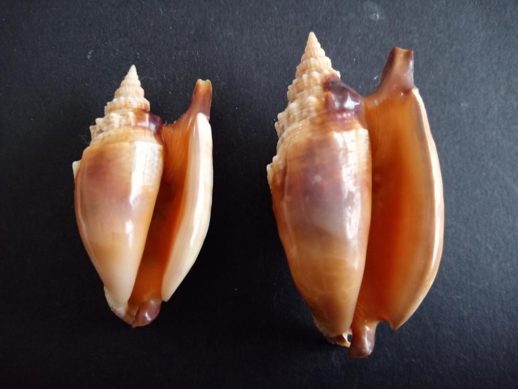 Euprotomus aratrum - (Röding, 1798) Img_2307