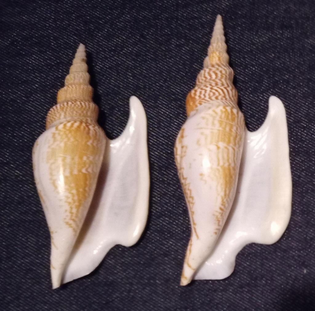Strombidae Mirabilistrombus listeri - (Gray, 1852) Img_2334