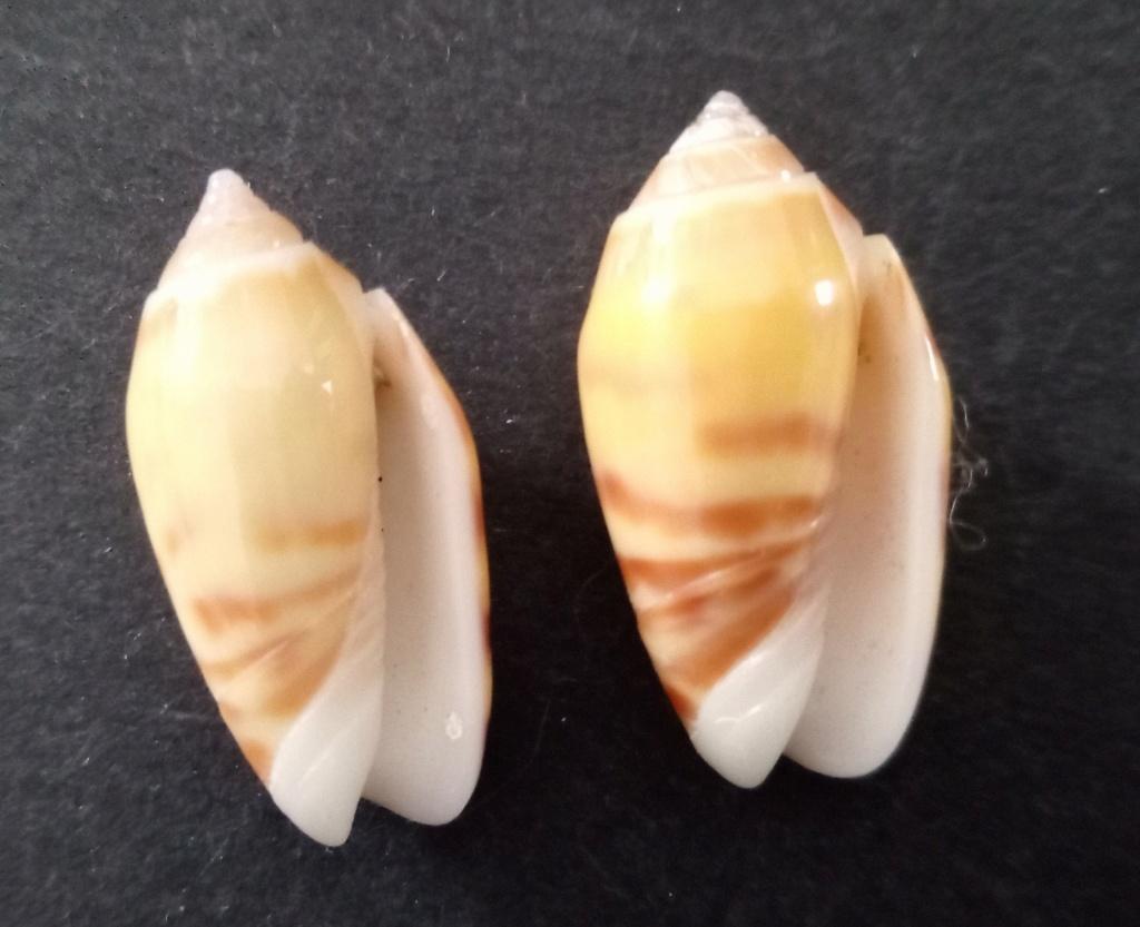 Annulatoliva buelowi buelowi (Sowerby, 1890) Img_2363