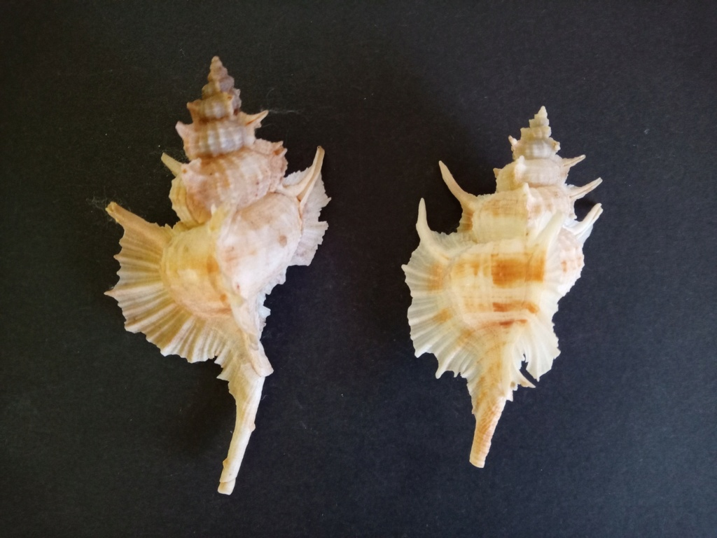Siratus beauii - (Fischer & Bernardi, 1857) Img_2385