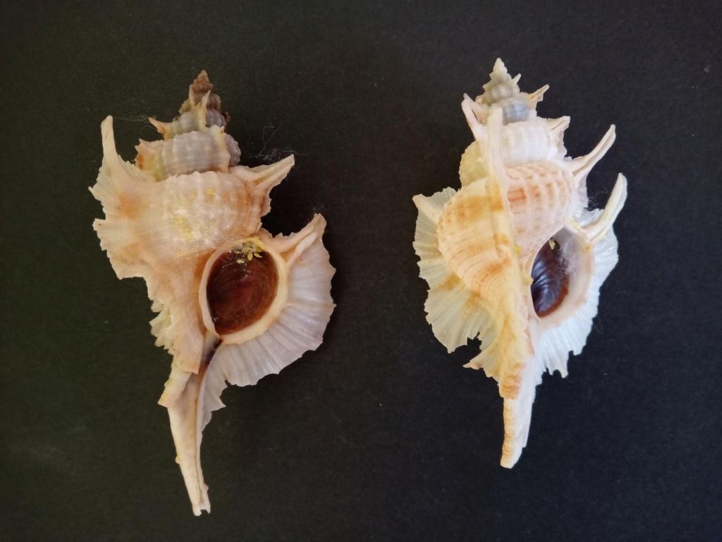 Siratus beauii - (Fischer & Bernardi, 1857) Img_2386